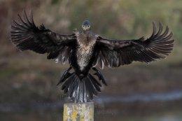 Cormorant 12