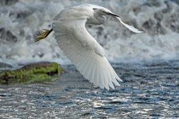 Little Egret 6