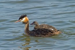 Great Cresed Grebe and Chick