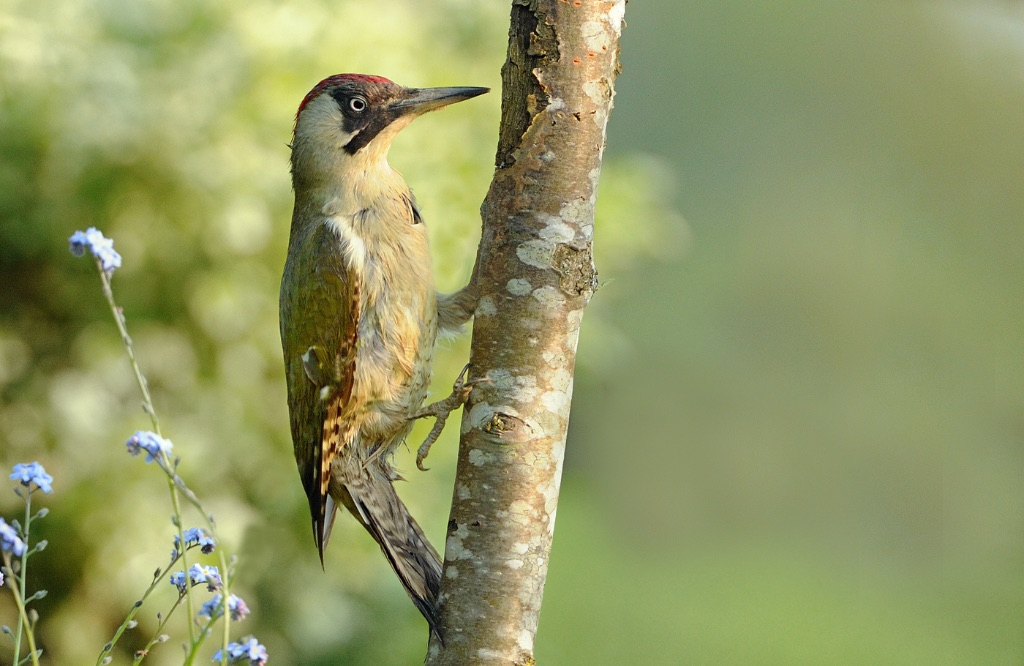 Green Woodpecker 2
