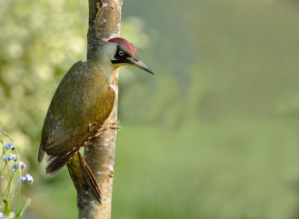 Green Woodpecker 3
