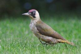 Green Woodpecker 1