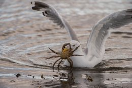 Herring Gull with Crab 2