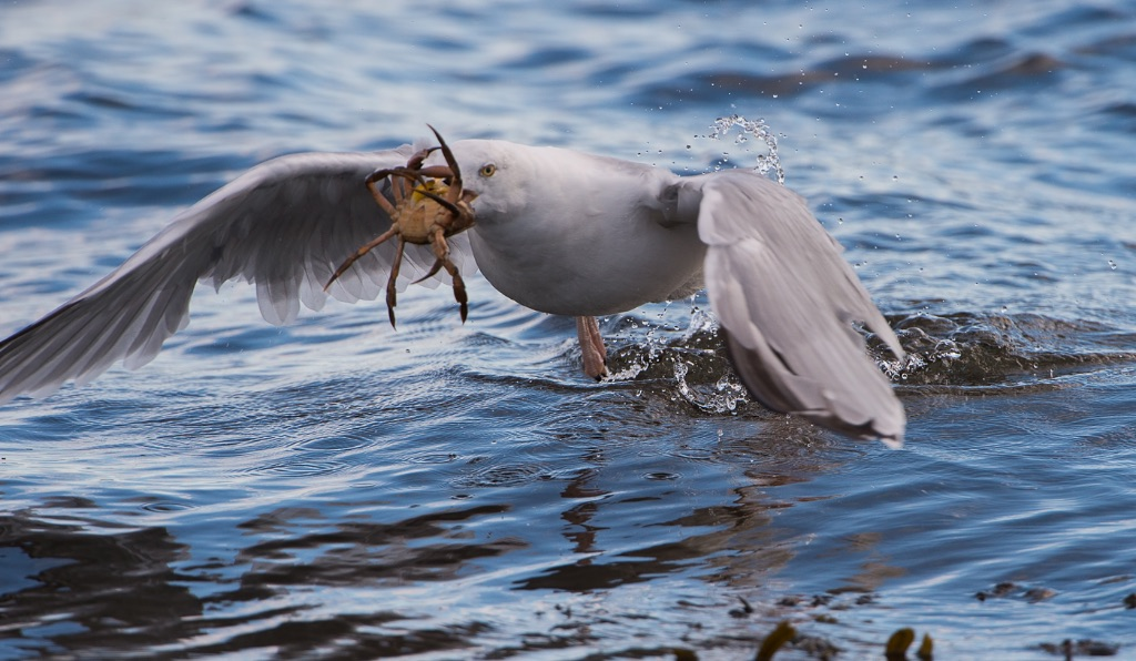Herring Gull with Crab 1