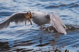 Herring Gull with Crab 1
