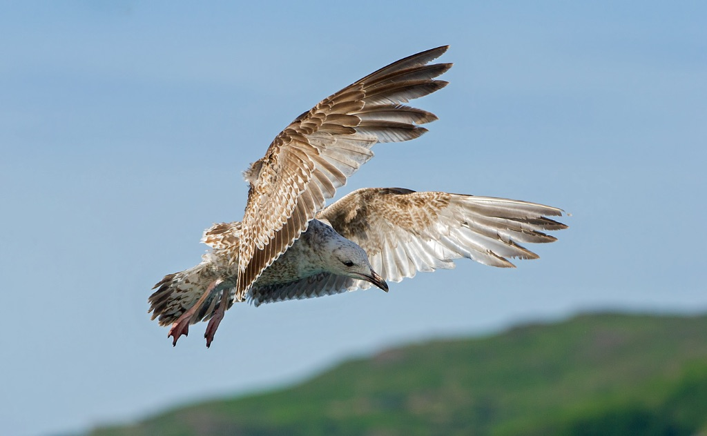 Herring Gull 1