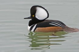 Hooded Merganser 1
