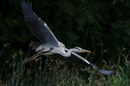 Grey Heron 5