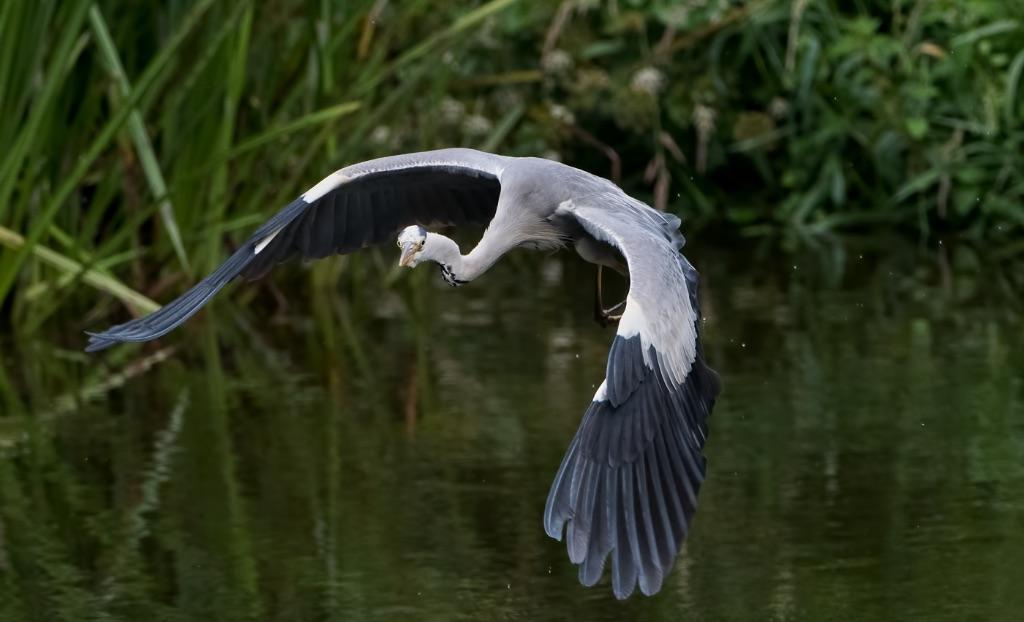 Grey Heron 7