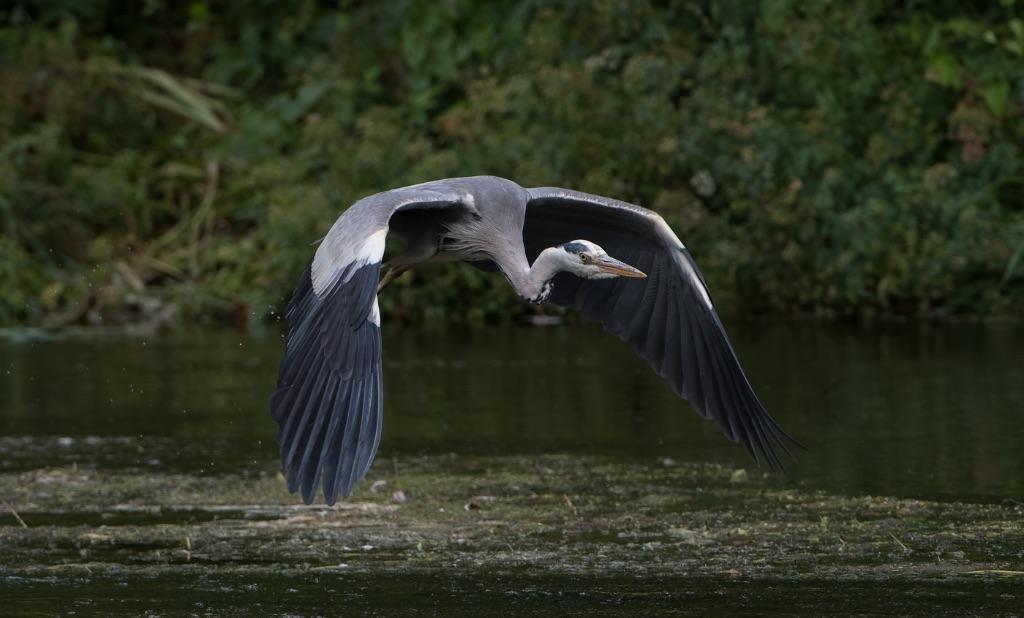 Grey Heron 9
