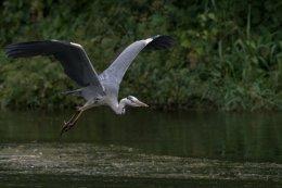 Grey Heron 10