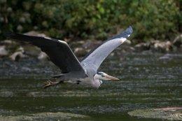 Grey Heron 11