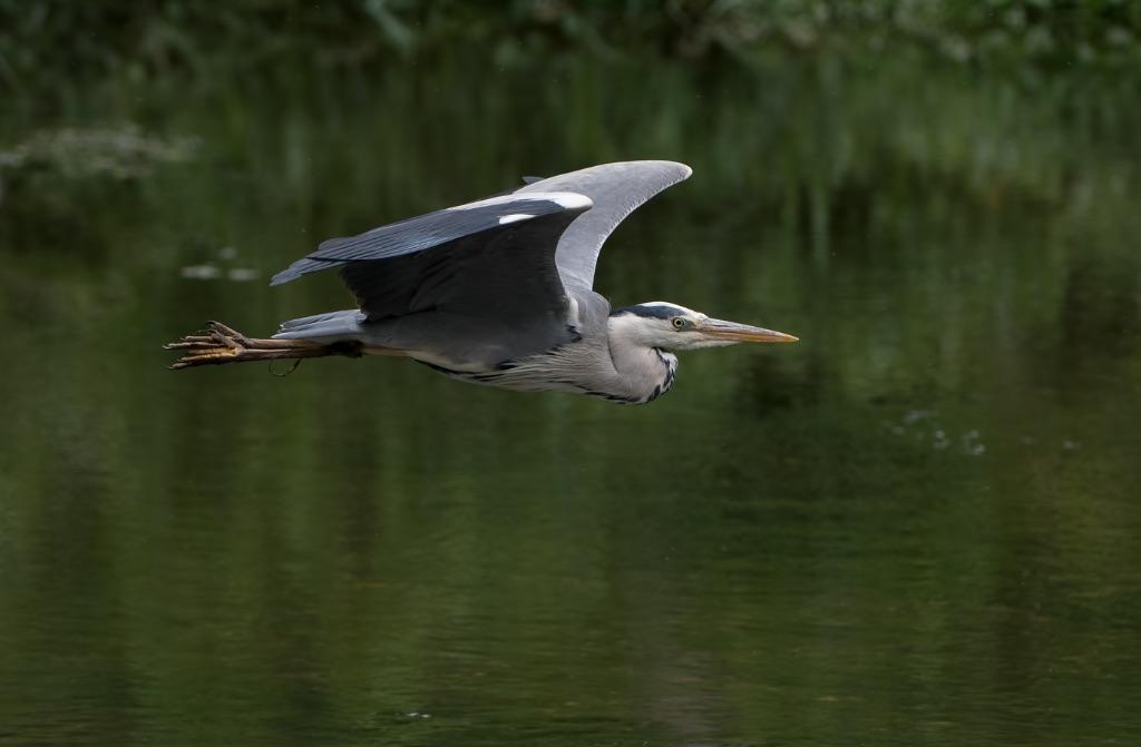 Grey Heron 13