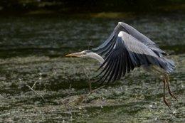 Grey Heron 14