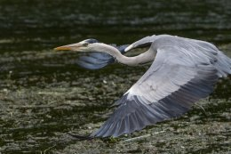 Grey Heron 15