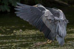 Grey Heron 16