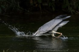 Grey Heron 18
