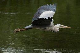 Grey Heron 19