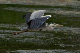 Grey Heron 20