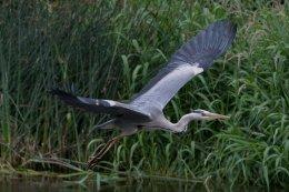 Grey Heron 22