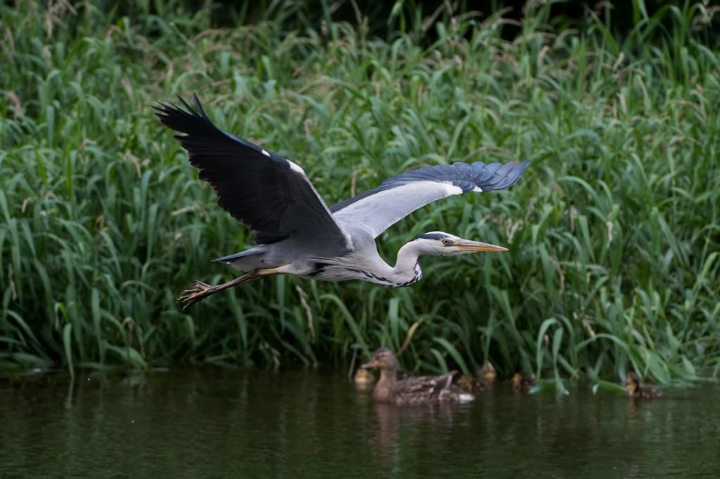 Grey Heron 21