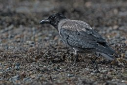 Hooded Crow 1