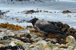 Hoodied Crow 3