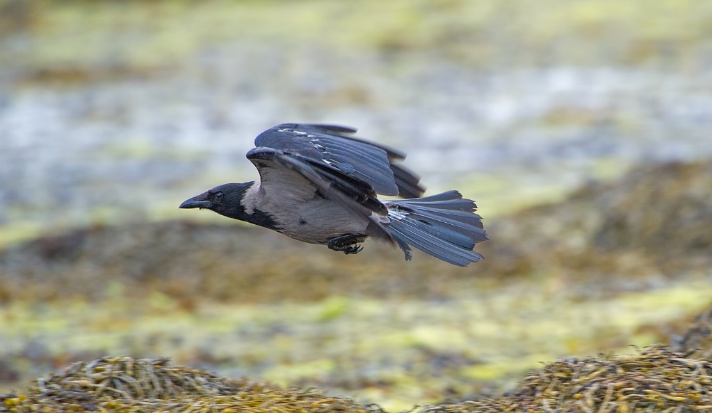 Hooded Crow 2
