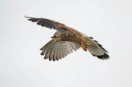 Hovering Male Kestrel 1