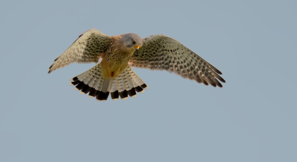Hovering Male Kestrel 3