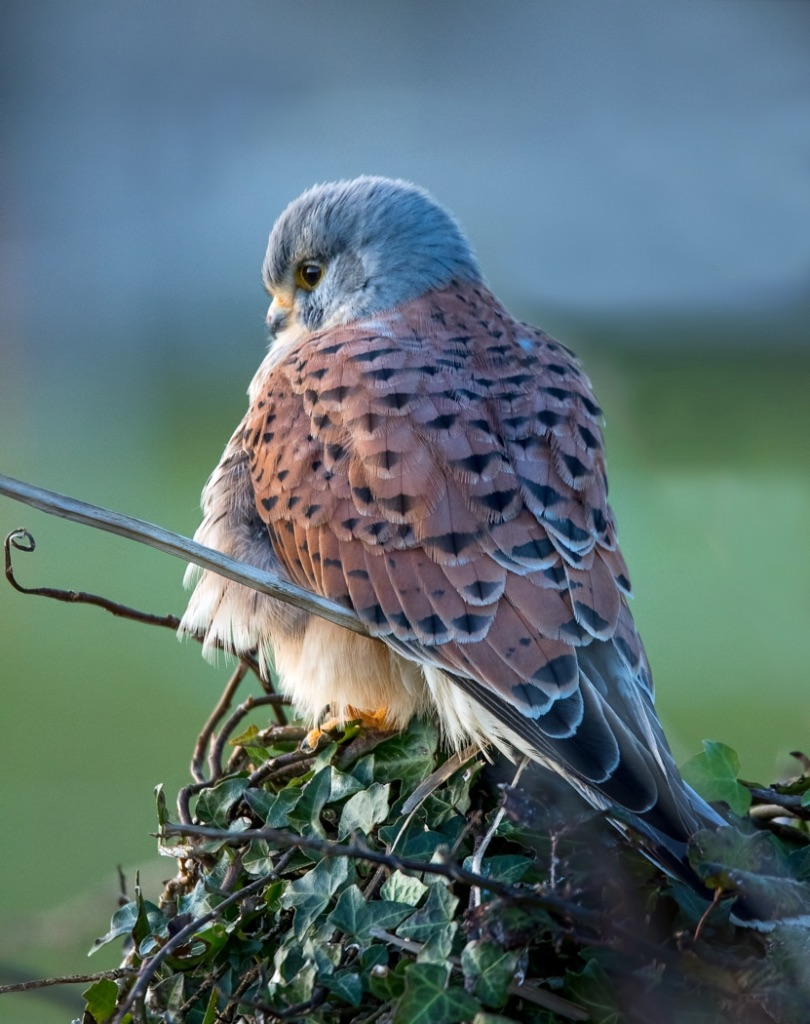 Male Kestrel 8