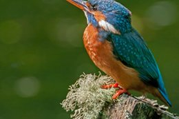 Kingfisher 3