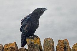 Raven 9