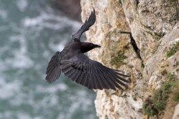 Raven 11