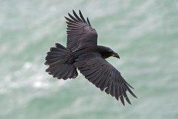 Raven 7
