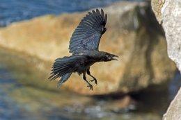 Raven 8