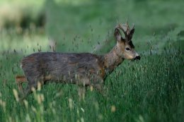 Roe Buck 1