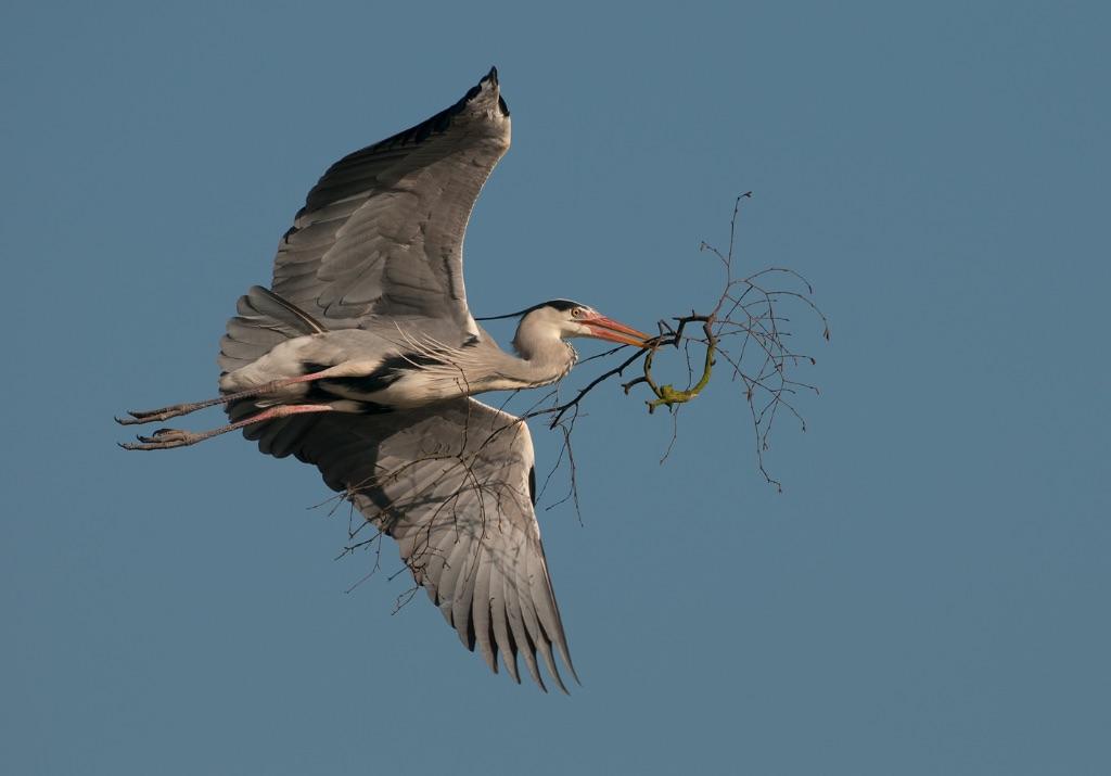 Grey Heron 23