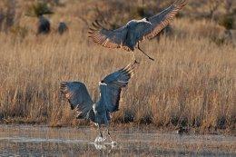 Sandhill Cranes 4