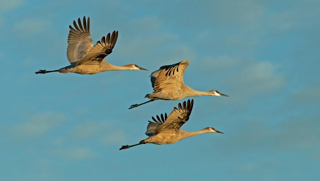 Sandhill Cranes 6