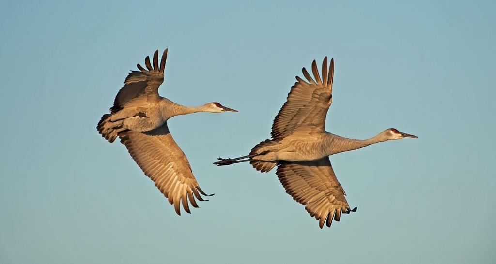 Sandhill Cranes 7