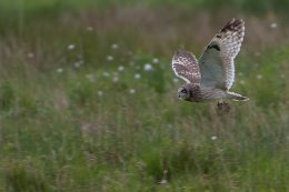 Short Eared Owl with Bank Vole