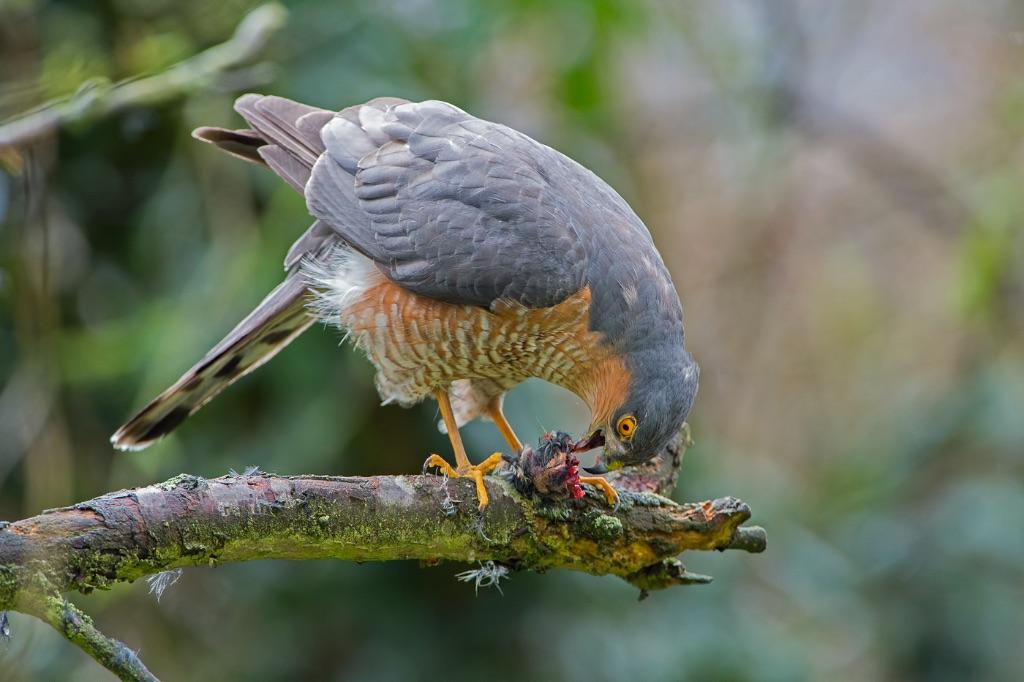 Sparrowhawk 2