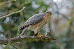 Sparrowhawk 5