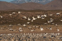 Snowgeese 1