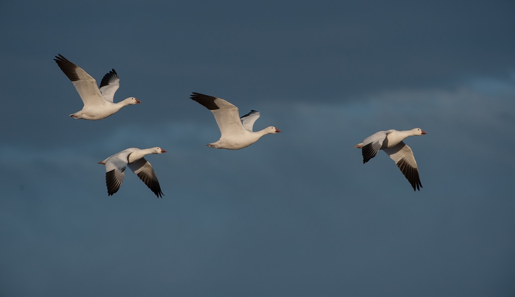 Snowgeese 2