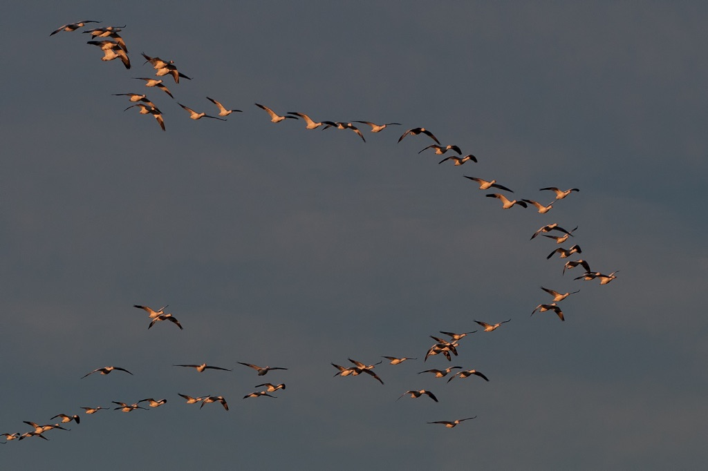 Snowgeese 3