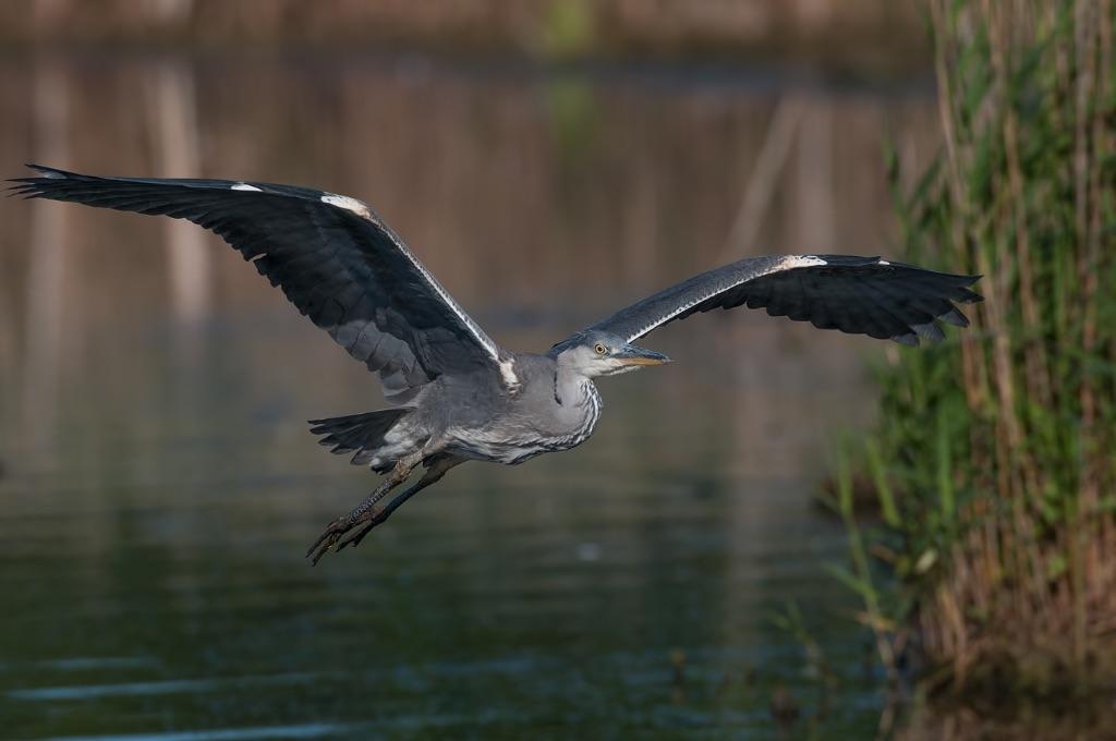 Grey Heron 12
