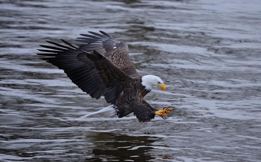 Bald Eagle 10