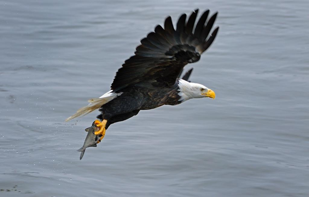 Bald Eagle 12